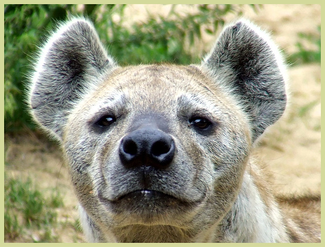 Young Male Spotted Hyena Close De Gevlekte Hyena Is De