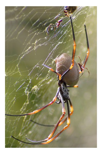 how to get rid of golden orb spiders