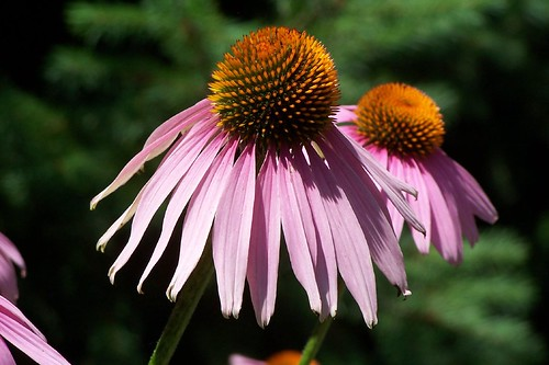 Purple Coneflower (echinacea) | by RobDurfee
