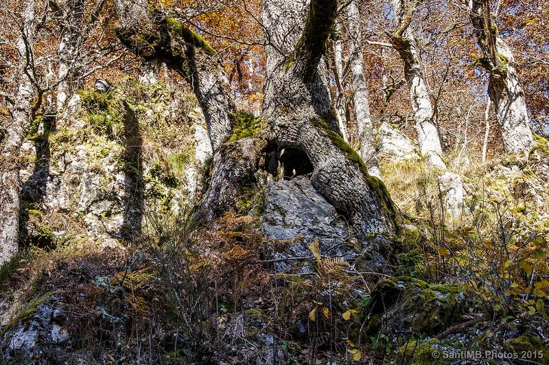 El árbol que se comía la roca