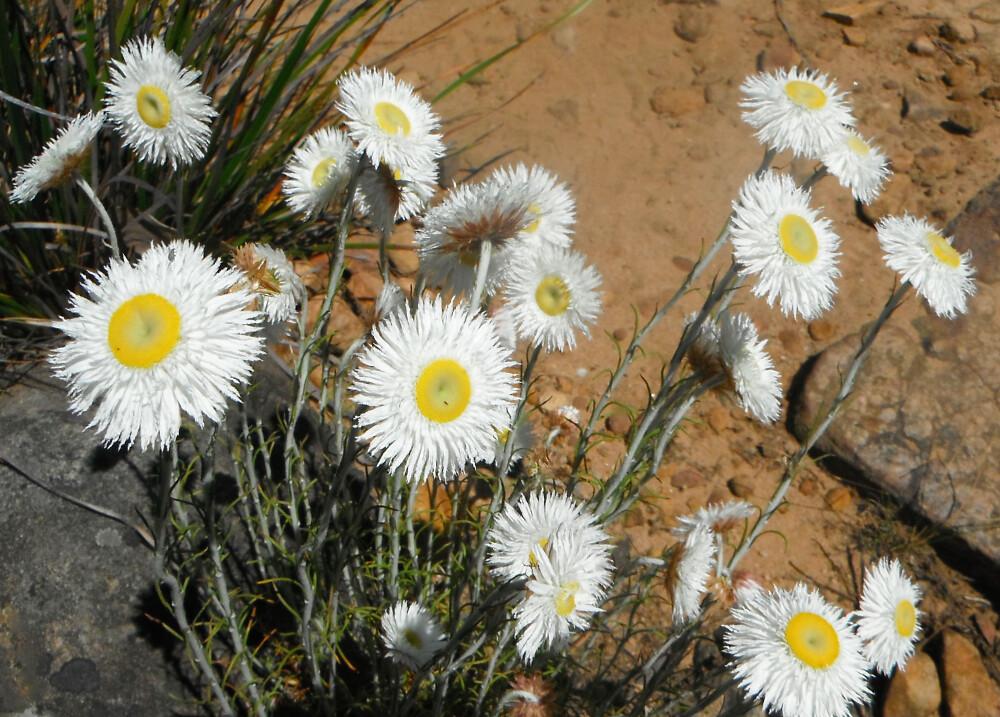 Wildflowers - Grampians
