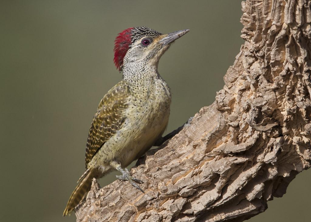 Fine-spotted Woodpecker  Gambia 2016