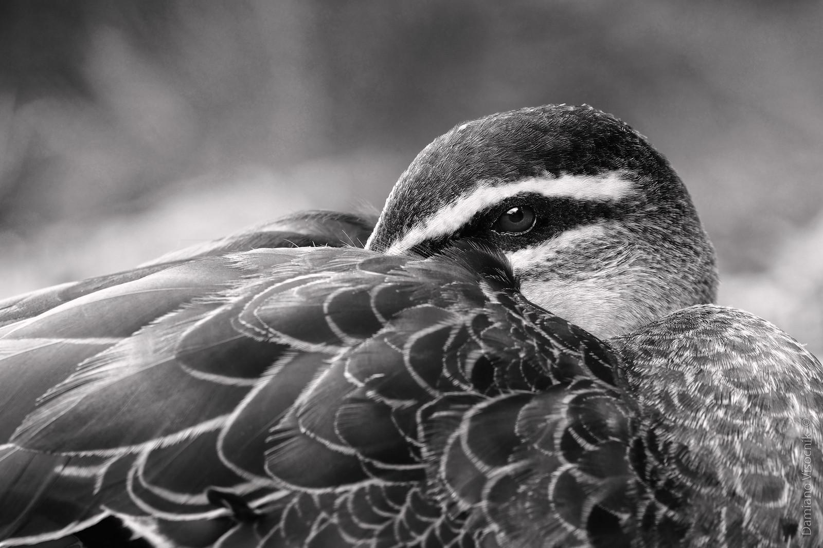 Fowl gaze_c