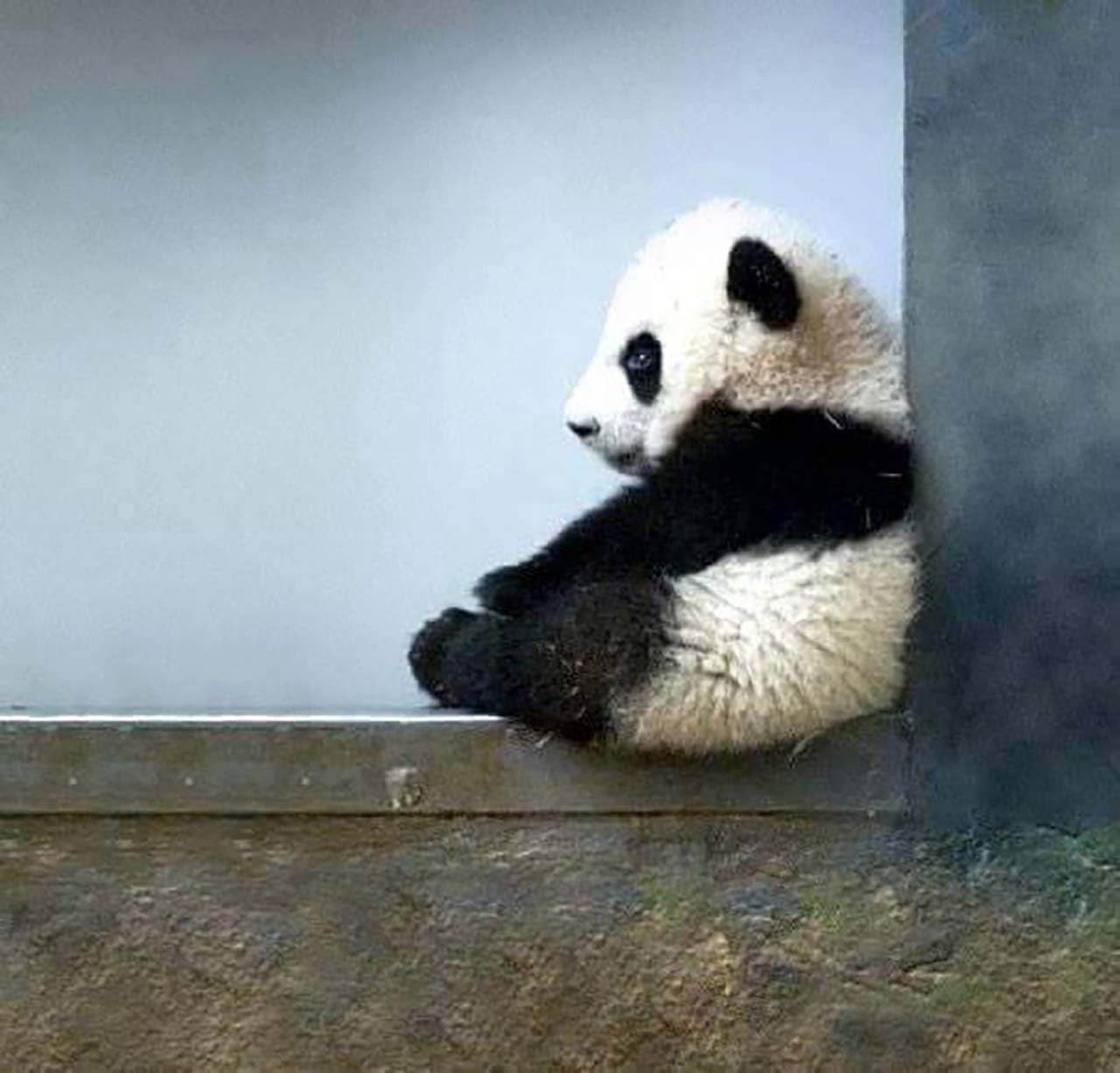 27 Adorable & Tiny Animals That Are Too Cute To Handle #11: Panda