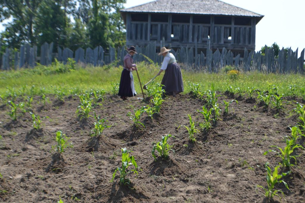 Pilgrim Settler Women Farming Corn In The 17th Century Eng
