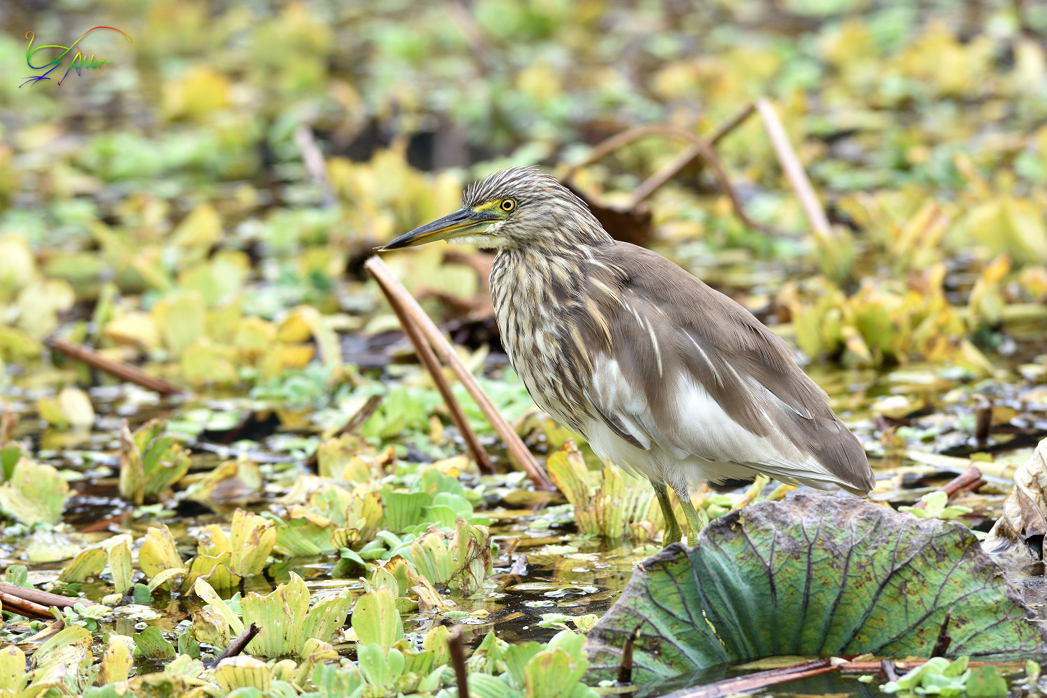 Chinese_Pond_Heron_3642
