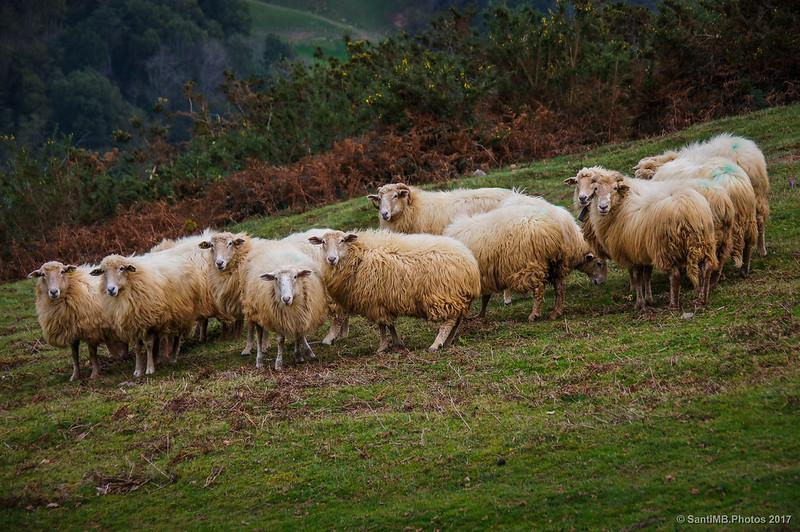 Rebaño de ovejas en la borda Kikerren