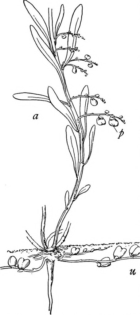 Image From Page 396 Of A Textbook Botany For Colleges And Universities