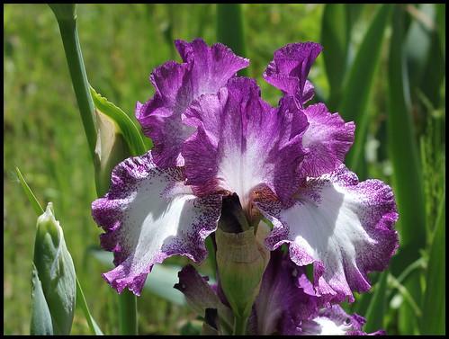 Les Iris plicata - une longue histoire et un bel exemple d'évolution 21026396650_a68062c81e
