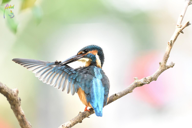 Common_Kingfisher_0509
