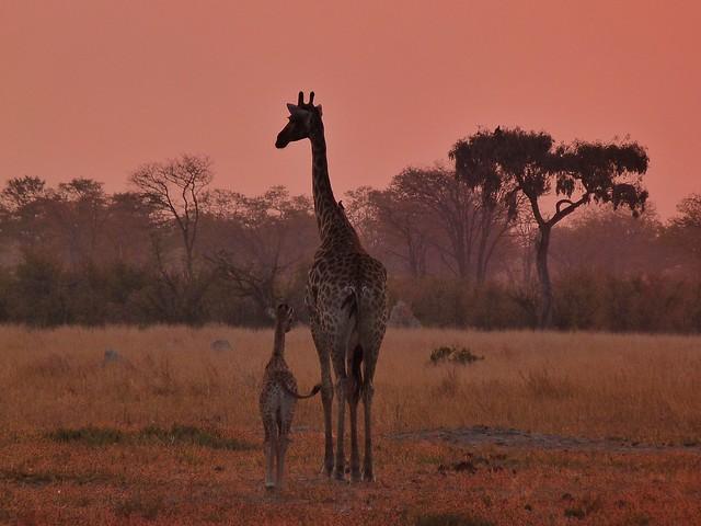 Jirafas al atardecer en Chobe (Botswana)