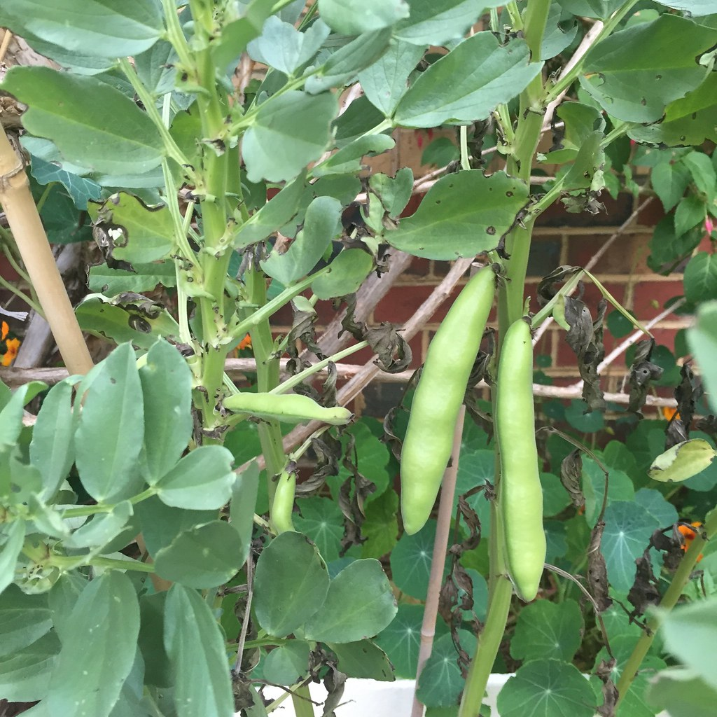 a close up of a few broadbeans, growing in the front yard
