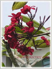 Captivating dark red Plumeria (Frangipani), 4 Dec 2016