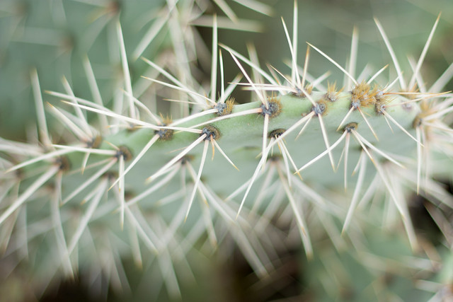 Prickly Pear Cactus Needles