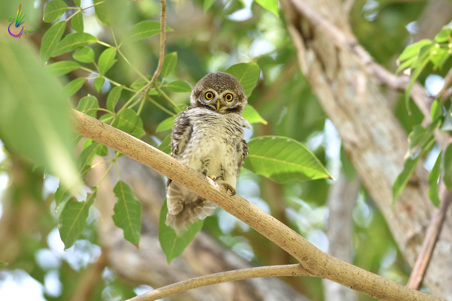Spotted_Owlet_6804