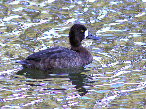 Lesser Scaup female 20170306