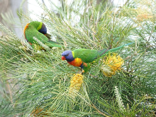 Rainbow Lorikeets on Grevillea