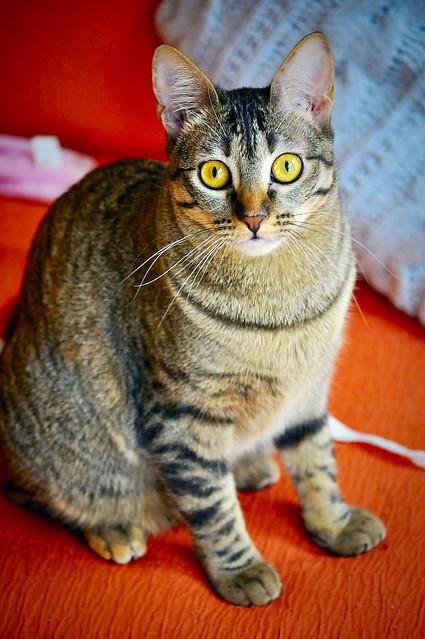Muriel, gatita atigrada parda tímida y dulce esterilizada, de ojos cobrizos, nacida en Abril´16, en adopción. Valencia. 33204130776_dc80fb3689_z