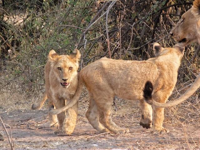 Leones en Chobe (Botswana)