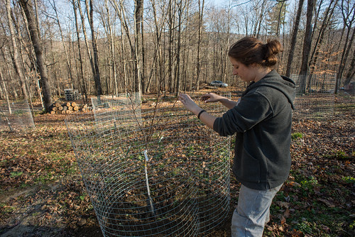 Tara Putting Wire Cage Around Fruit Tree | by goingslowly