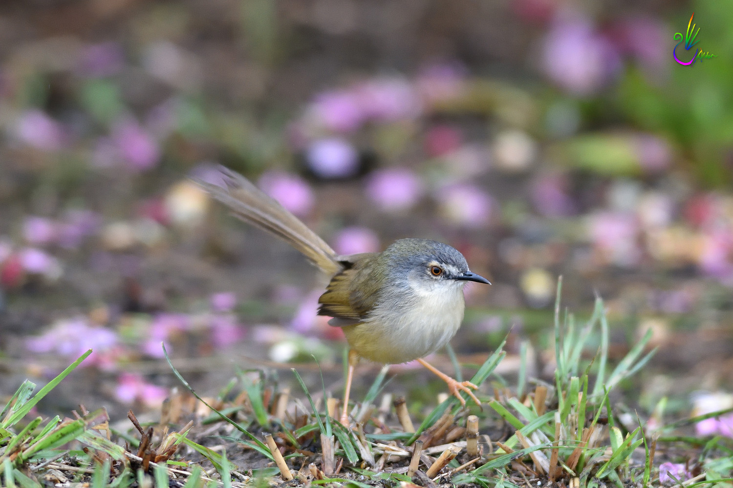 Yellow-bellied_Prinia_7337