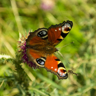 20150906-18_Peacock Butterfly with Hoverfly_Lathkill Dale