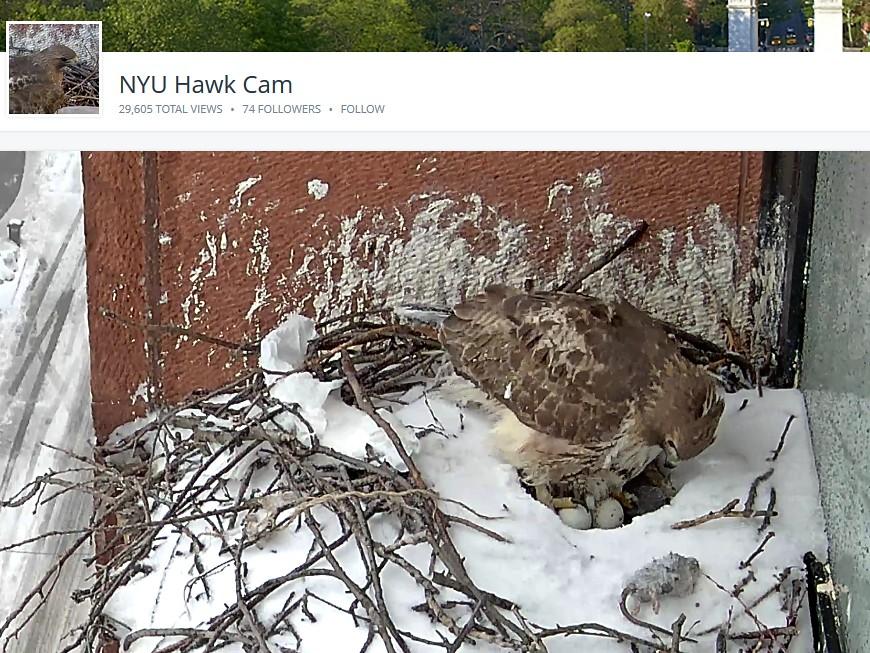 2nd egg for NYU hawks