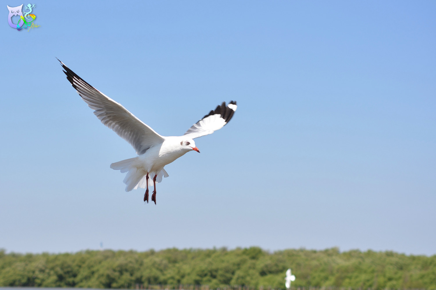 Brown-headed_Gull_2948