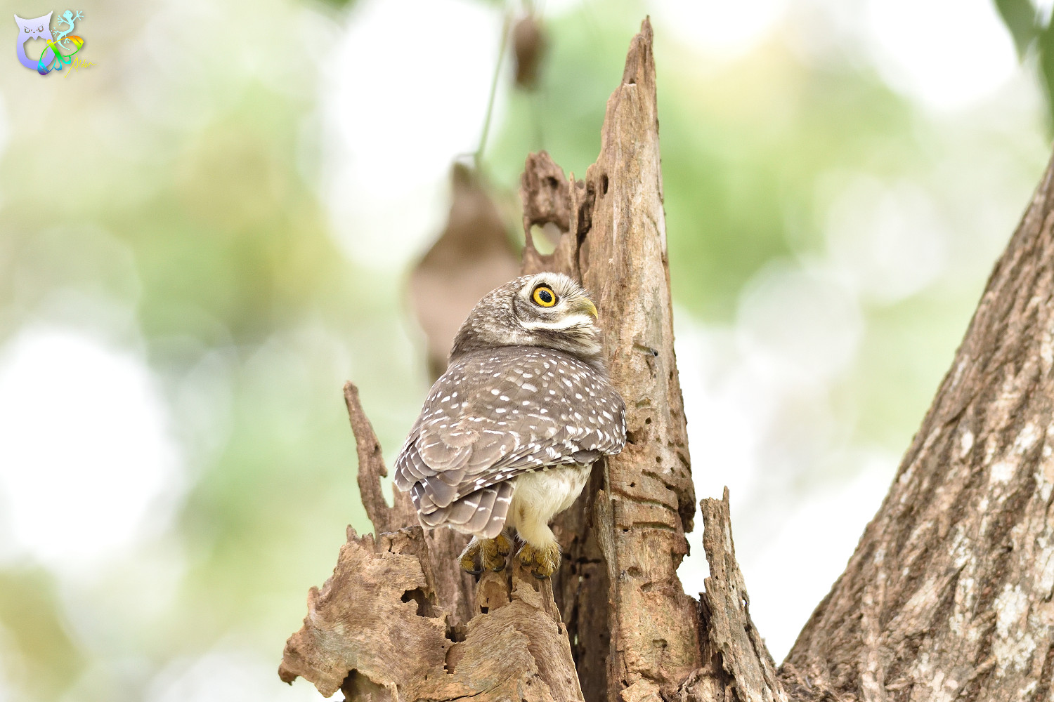 Spotted_Owlet_3312