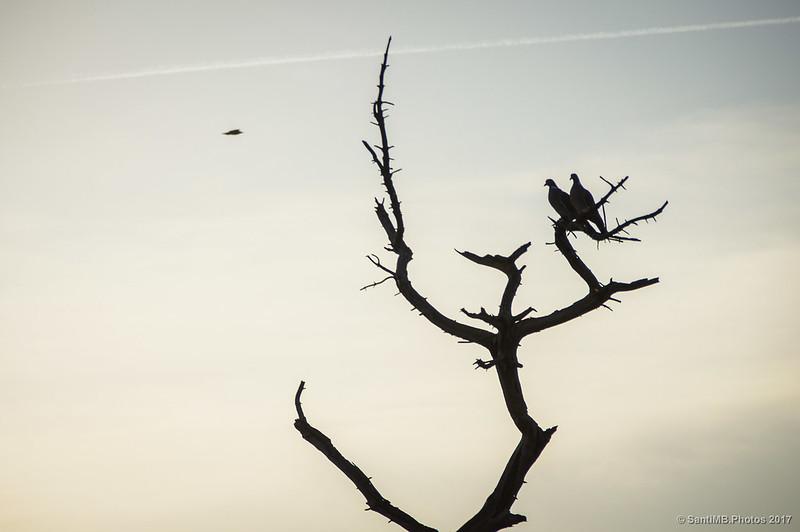 Una pareja de palomas torcaces en un pino muerto de la pineda de Ca l'Arana