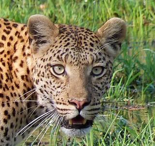 Rostro de leopardo en Moremi (Botswana)