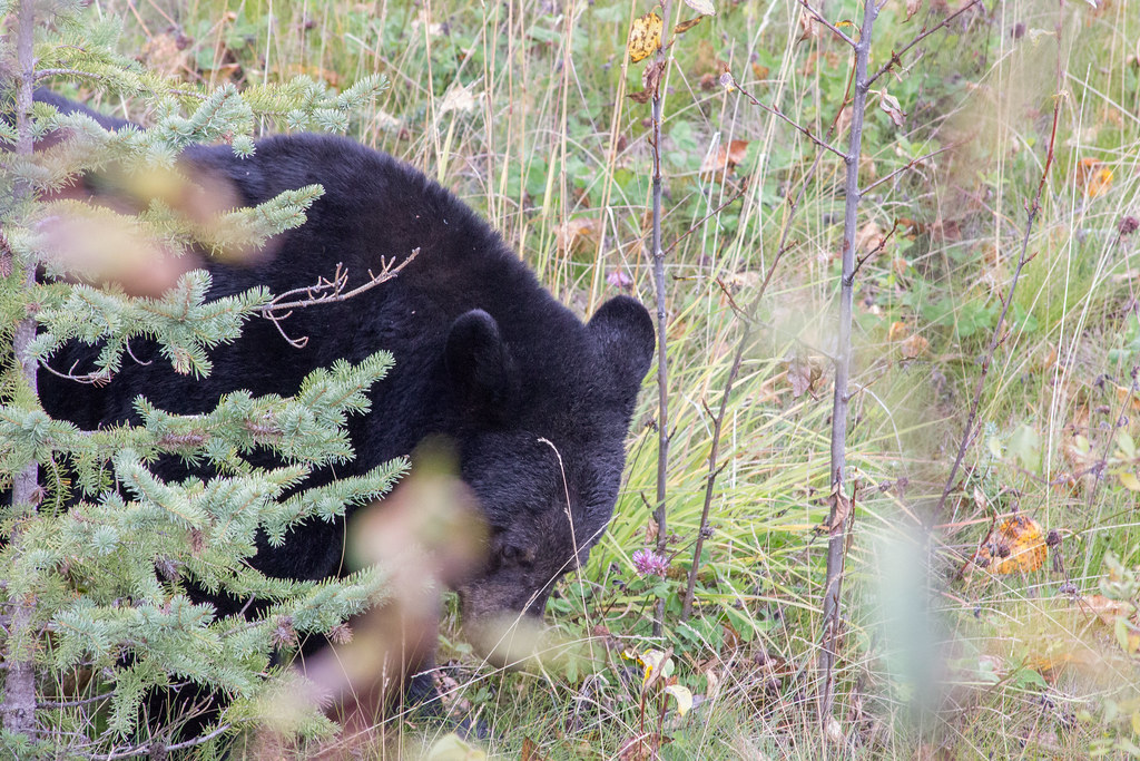 Bear at the side of the road in Jasper