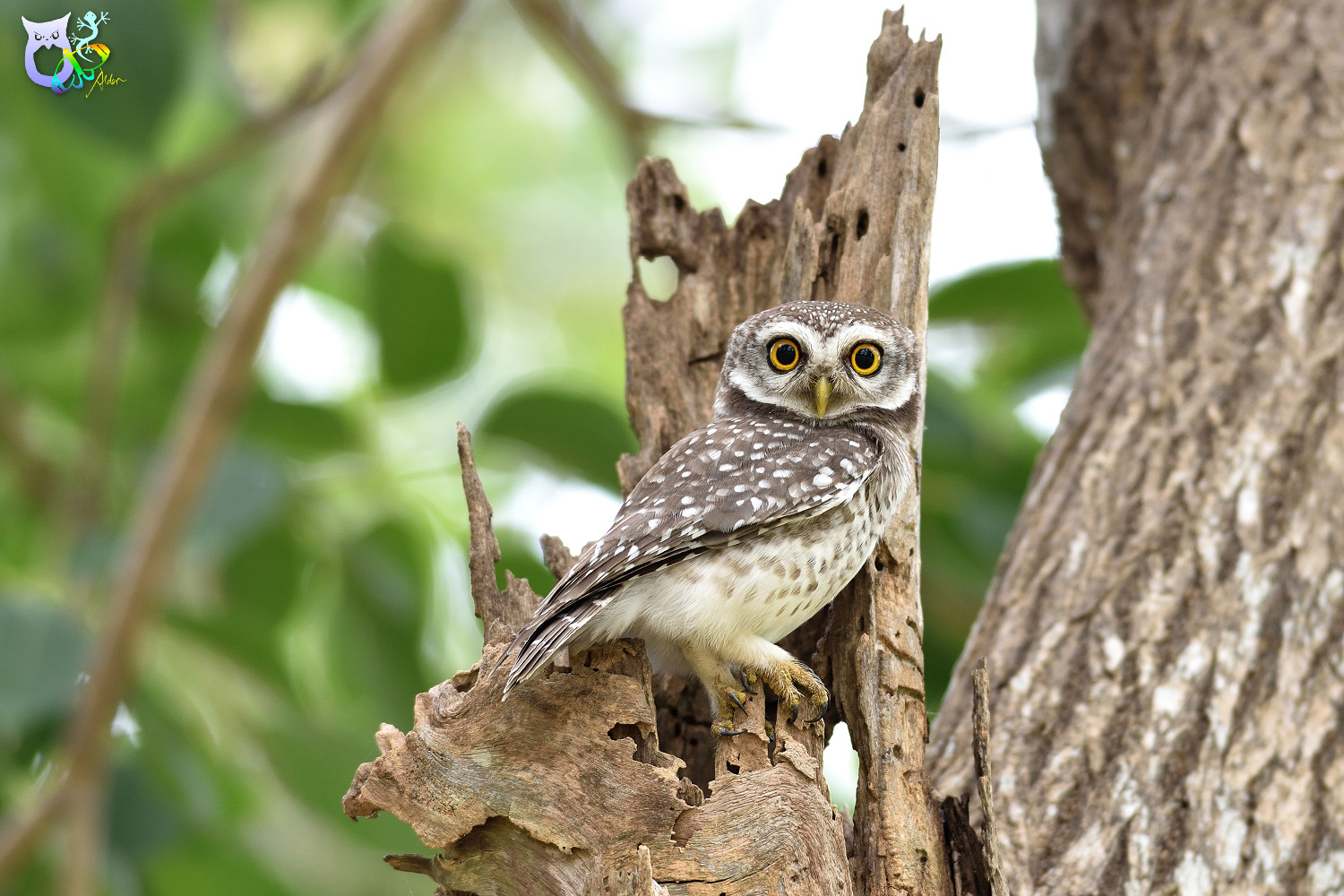 Spotted_Owlet_3209