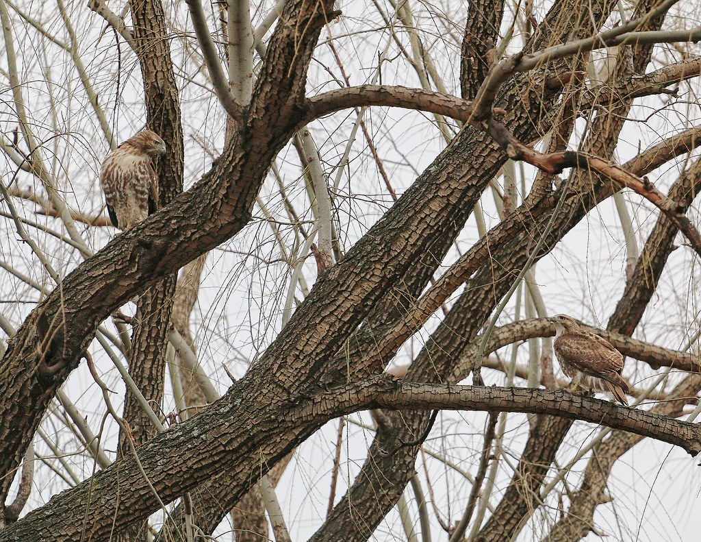 Two juvenile red-tails