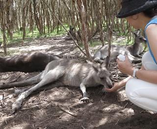 Gray Kangaroos