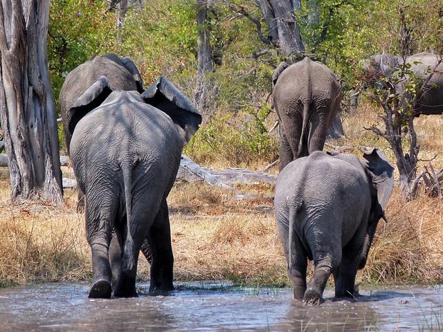 Elefantes en el río Khwai (Botswana)