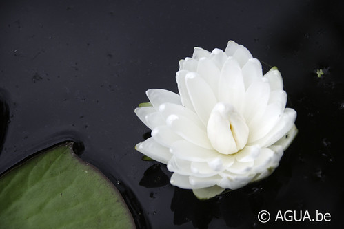 Waterlelie White 1000 Petals / Nymphaea White 1000 Petals