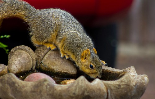 Fox Squirrel getting a sip from the birdbath | by suzeesusie