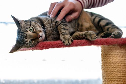 Tigris, gatita atigrada parda de ojazos verdes y cara redondita, tímida y sumisa esterilizada, nacida en Septiembre´15, en adopción. Valencia. ADOPTADA. 32577082222_4bbbd0e138