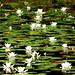 Acqua Flowers
