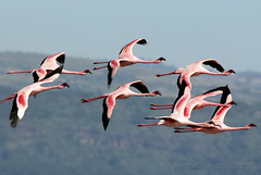 Greater Flamingos | by Michael Poliza