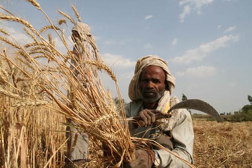 Farmers Harvesting Crops Farmer Harvesting Wheat
