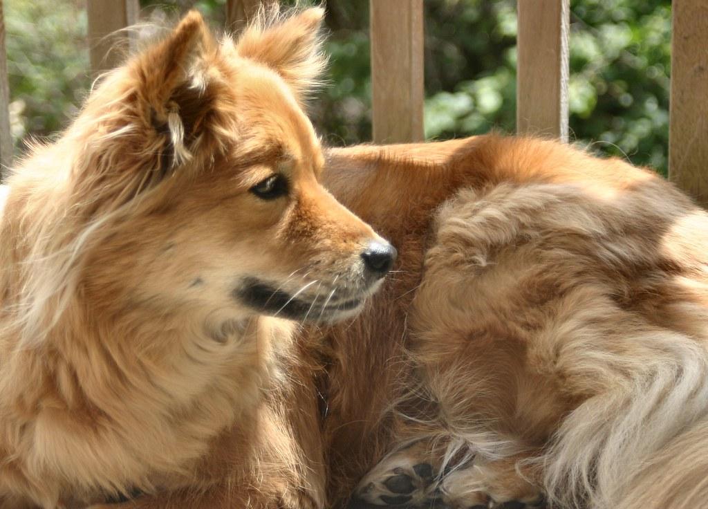 9 Popular Japanese Dog Breeds  Carecom