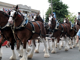 Budweiser Clydesdales | by Trinity