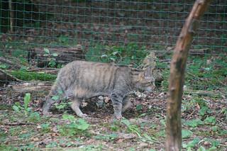 072 Europese wilde kat