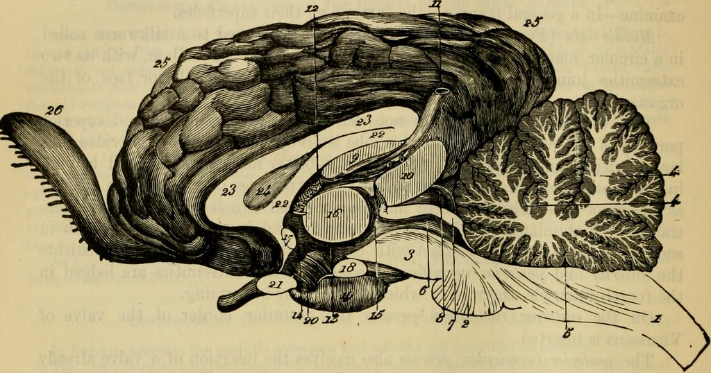 Image From Page 821 Of The Comparative Anatomy Of The Dom Flickr