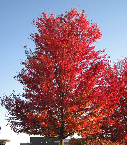 Acer Saccharinum Silver Maple Tree In Fall Colors Newar