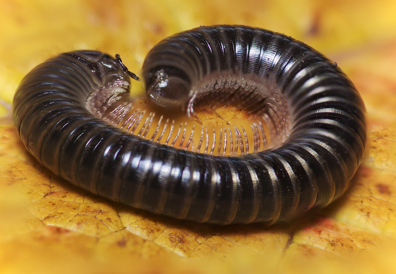 White-legged Snake Millipede