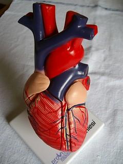 foto 37 (a) modello chiuso di cuore umano