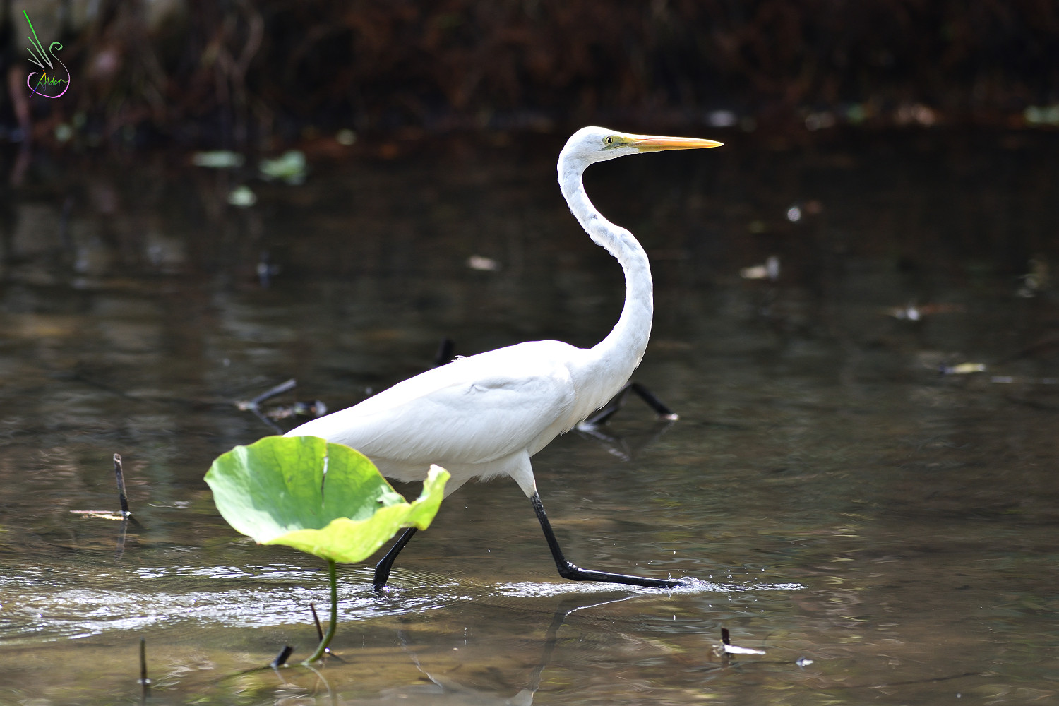 Great_Egret_8234